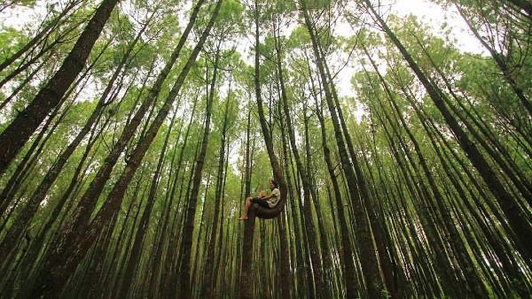Harga tiket masuk Hutan Pinus Kayon