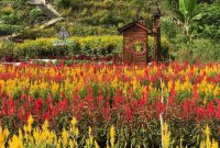 Taman Bunga Celosia Kemadang